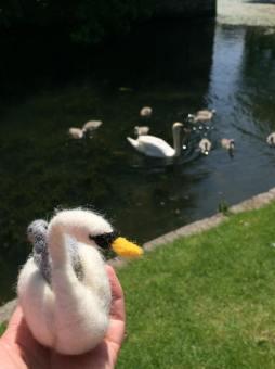 Swans & Cygnets by Liz